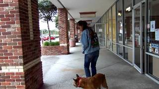 Dog Training Aggression Issues Red Heeler Mix Blazer Starting Off Leash Dogtra Pager E Collar
