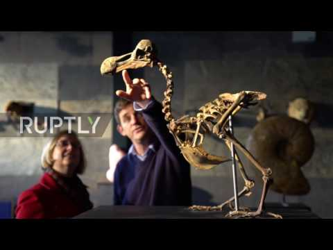 UK: Rare Dodo skeleton up for auction; expected to fetch £500,000