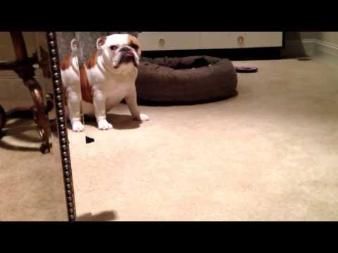 Our English Bulldog Set Up, Bed , Ramp, Some Toys, 2 English Bulldogs