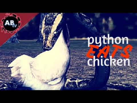 Python Eats Chicken : Corey Wild - Ep. 21 : AnimalBytesTV