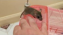 The differences between wild roof and domestic baby rats explained