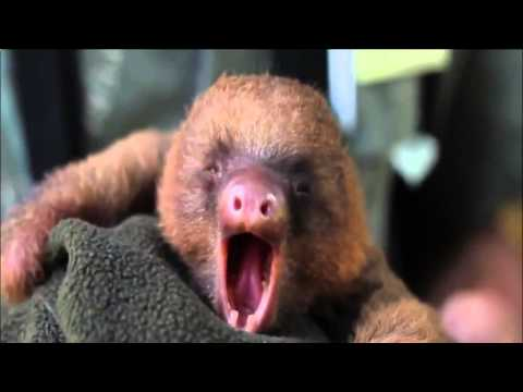 As sloth yawns Funny Fails Clips Videos Vines