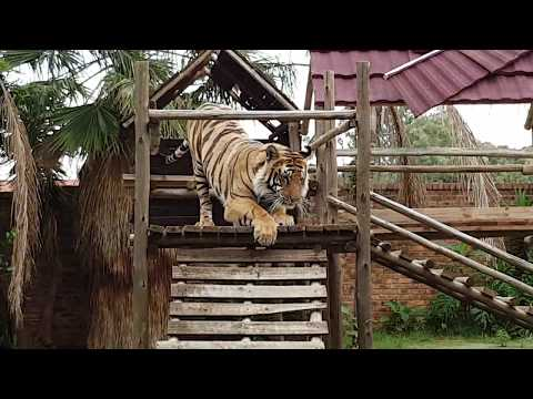 Watch the Tigers reaction as they are getting new toys !