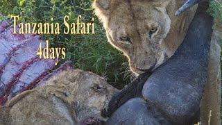 2015 FEB Serengeti National Park セレンゲッティ国立公園 ライオンが...