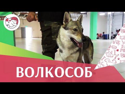 Чехословацкая волчья на ilikepet. Особенности породы, уход