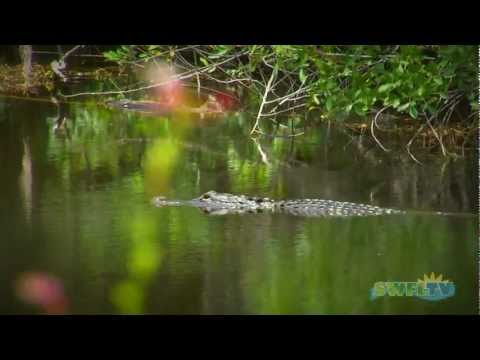Never Feed Alligators! Presented by the Florida Fish and Wildlife Conservation Commission