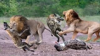 ライオンvsハイエナ永遠バトル!Lion vs Hyena!#3.