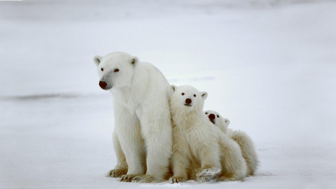 Bien connu L'ours polaire et le réchauffement climatique - YouTube GT78