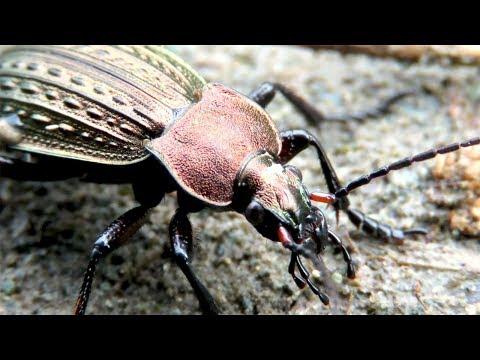 Красивый жук - жужелица решетчатая, Ground Beetle