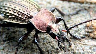 Gambar cover Красивый жук - жужелица решетчатая, Ground beetle
