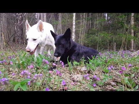 Вопрос: Какая трава отбивает нюх у собак и животных?