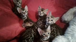 Бенгальские котята 1 месяц