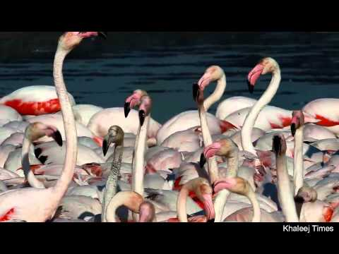 Flamingos at Ras Al Khor wildlife sanctuary in Dubai
