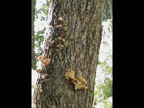 White Oak Tree (Removal) Quercus Alba -  Peru, Indiana