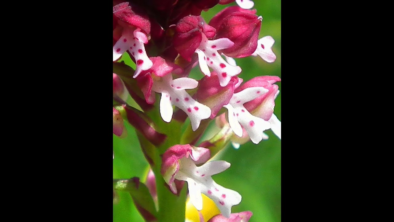 voyage orchidées sauvages des alpes  wild orchids of the alps, Beautiful flower