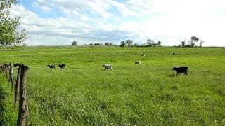 Harold's Holstein Calves In Iowa, 2011