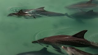 Dolphins Come Together to Greet Newborn | BBC Earth
