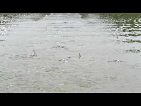 Birds follow our boat on kazinga channel boat cruise