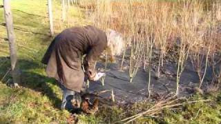 Willow Coppicing Guide