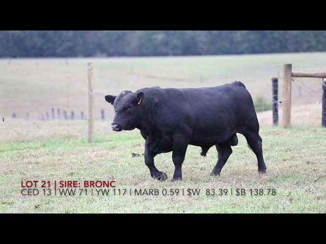 Edgewood Angus Lot 32