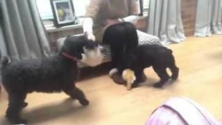 Hugo (miniature Schnauzer) Playing With Puppy Oli (giant Sc