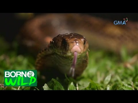 Born to Be Wild: Rescuing a Philippine Cobra in Catanduanes