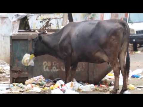 Cow eating Plastic