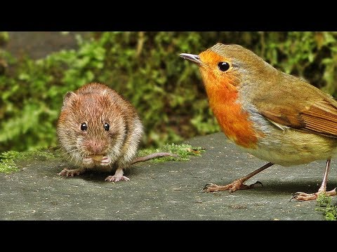 Videos for Cats to Watch : Mouse vs Birds