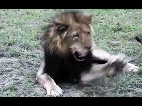 Huge Male Lion VERSUS A ... Fly - Latest Wildlife Sightings
