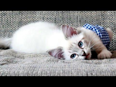 Ragdoll Kitten spielt mit Kissen