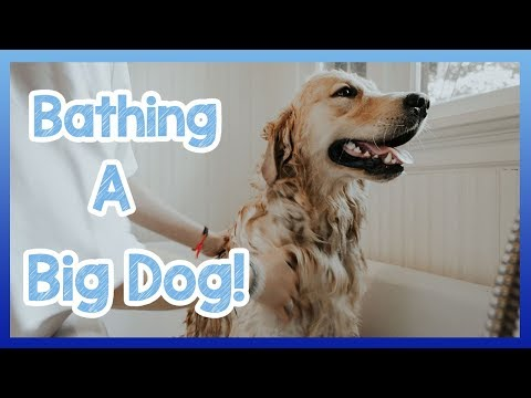 How To Bathe A Big Dog! How To Wash Your Dog Safely And Calmly With Homemade Shampoo!