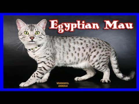 Egyptian Mau is an energetic, beautiful and playful cat who loves attention / Compilation