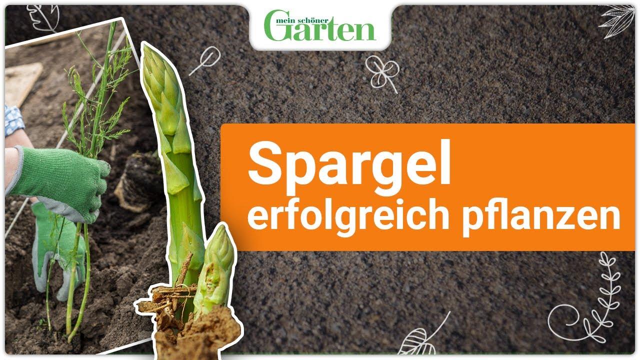 gartentipp gr nen spargel richtig pflanzen youtube