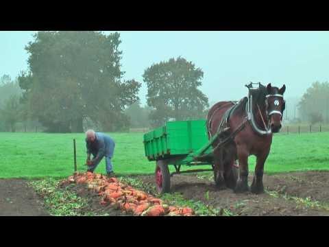 Belgian Draft Horses-beet Harvest With Respect For The Environment-Berlaar-Belgium