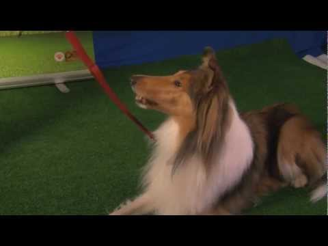 Got Talent? Watch beautiful collie dog Kenzie show her tricks and training