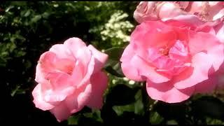 Зачем летом обрезать розы после цветения?? Правильная обрезка роз!!