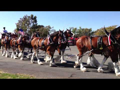 Budweiser Clydesdale Horses and Beer Carriage