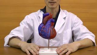 動脈血と静脈血の流れる区分を色分けした心臓模型│G01/1