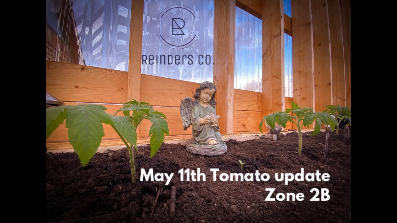 In the Greenhouse May 11th Tomato Update zone 2B gardening