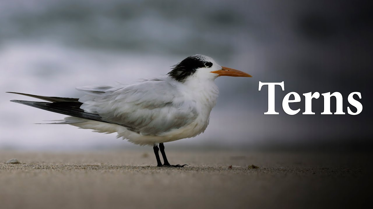 The Terns