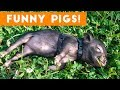 Top Funniest Pig Videos of 2017 Weekly Compilation   Funny Pet Videos