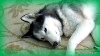 Siberian Husky On The Dangerous Dog List? Fan Friday #75