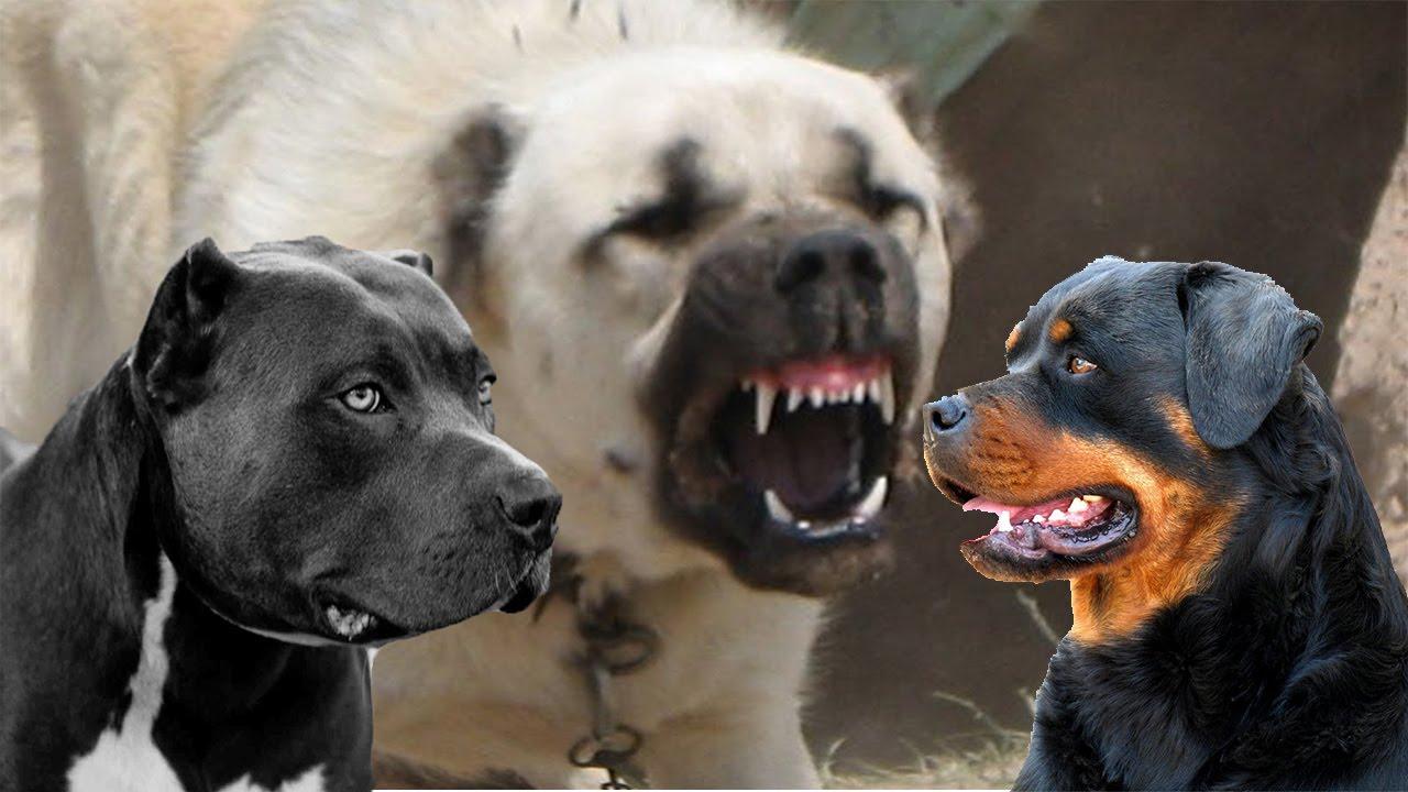 Top 10 i cani pi forti del mondo youtube for I cani youtube