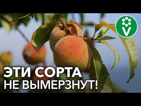 ТОП-6 СОРТОВ ПЕРСИКА для сурового климата