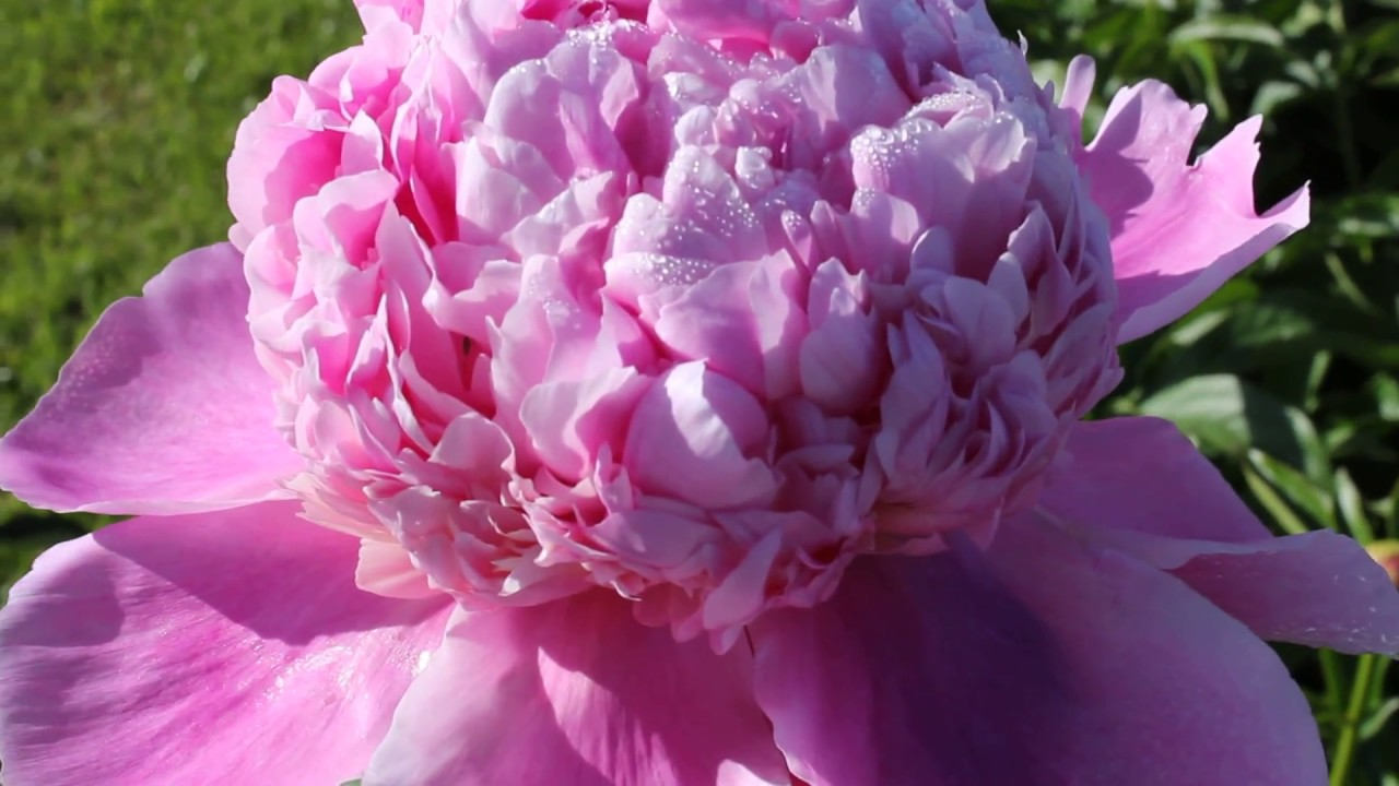 Lady Anna R2 Flowers Bv Peonies Youtube