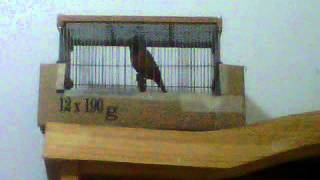 mi paraguayito de corbata o garganta cafe (sporophila ruficollis)