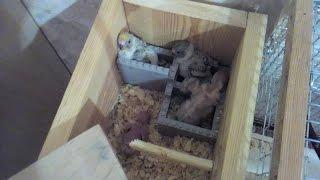 Размножение волнистых попугаев 5ч. Птенцы волнистого попугая. Вертолёт у попугаев.