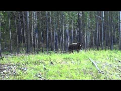 Wild Grizzly in Yellowstone