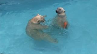 おもちゃを使って楽しそうにプールで遊ぶ ホッキョクグマのバフィンとモモ thumbnail