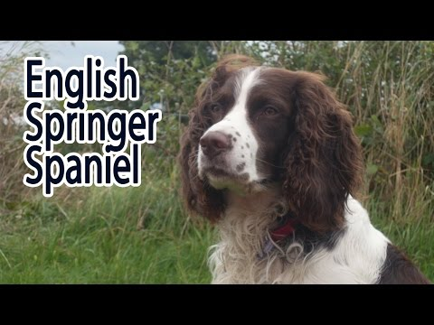 English Springer Spaniel Breed